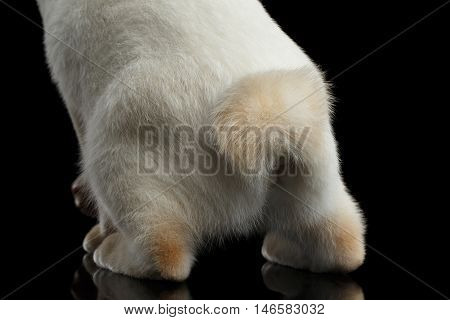 Close-up Tail of Mekong Bobtail Cat, Isolated Black Background, Color-point White Fur, Back view