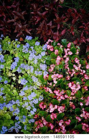 The texture of groundcover plants and flowers. Blue and pink flowers and green leaves