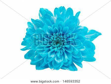 Blue Chrysanthemum Flower Isolated over White Background. Beautiful Dahlia Flowerhead Macro