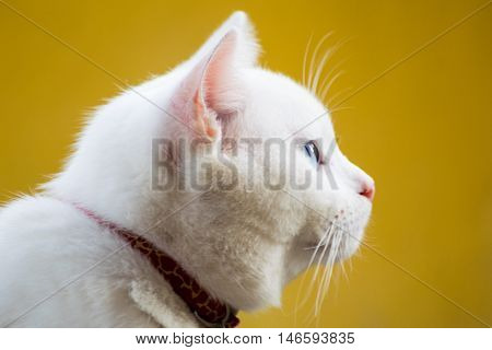 Cat portrait close up only head crop looking to the topwhite cat on yellow background