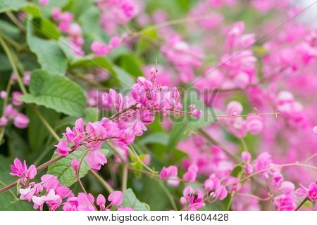 Coral Vine Or Antigonon Leptopus Hook Flower  In The Garden