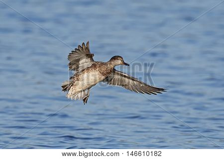 Eurasian teal (Anas crecca) in flight with blue water in the background