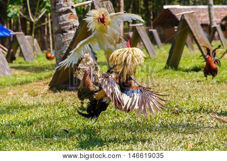 Philippine traditional cockfighting competition on green grass. Popular sport and tradition in asia.