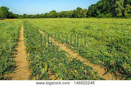 Large field with organic cultivated Onion or Allium cepa L. plants with kinked foliage. It is a sunny day in the summer season.
