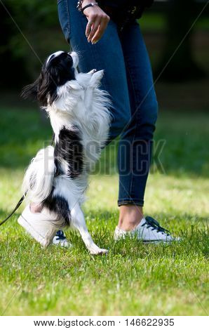 Japanese Chin portrait outdoor dancing on tiptoe