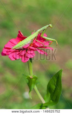 Praying mantis sitting on a purple flower