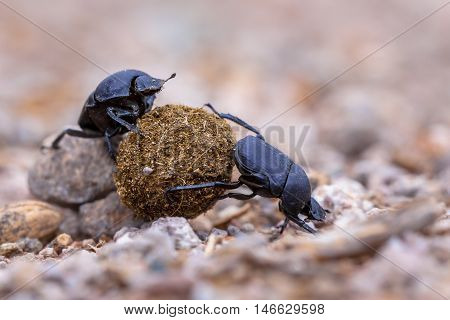 Two Hard Working Dung Beetles