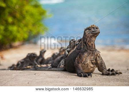 marine iguana (Amblyrhynchus cristatus) is an iguana found only on the Galápagos Islands that has the ability unique among modern lizards