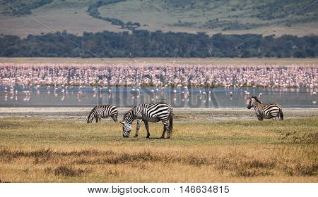 zebra in Ngorongoro Conservation Area. Animals in wildlife for background.