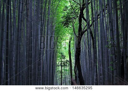 View site of bamboo groves at  Arashiyama forest,Kyoto,Japan