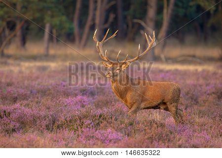 Male Red Deer Antlers
