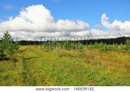 in place of felled forests planted with new, young coniferous forest, away high old forest, beautiful contrasting sky with Cumulus clouds