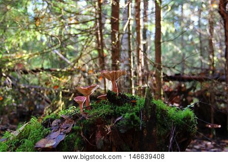 morning in the forest, families of mushrooms growing on a tree stump covered with green moss agaric with a cap of reddish-brown mushroom is shaped like an inverted umbrella
