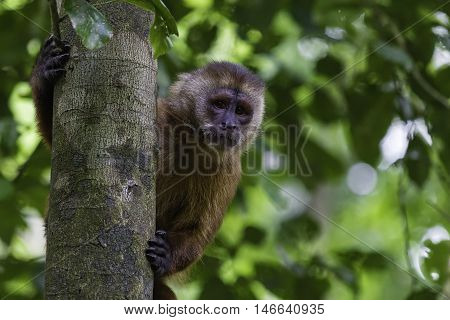 Capuchin monkey behind the tree on Monkey Island Reserve on Madre de Dios in Peru