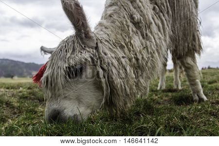 Lama feeding itself by grass at Sacsayhuaman in Cusco. Dynamic photo from below.