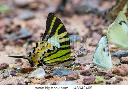 Beautiful Butterfly in the nature (Tropical forest)