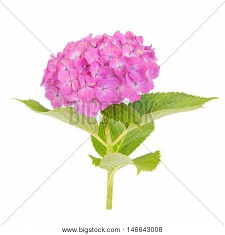 Pink Hydrangea macrophylla flower isolated on white background