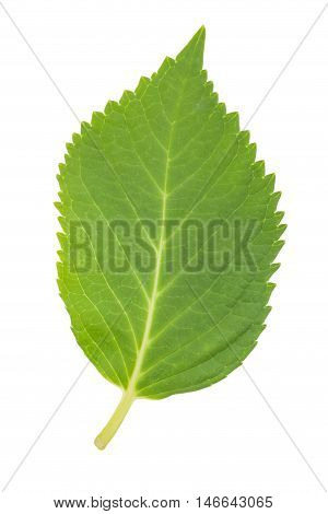 Green leaf isolated on white a background