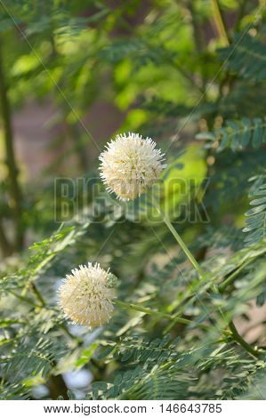 close up Leucaena glauca  flower in nature garden