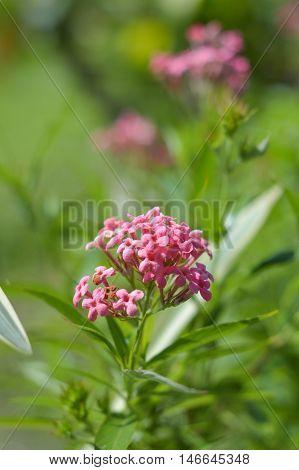 close up pink Panama Rose flower in garden