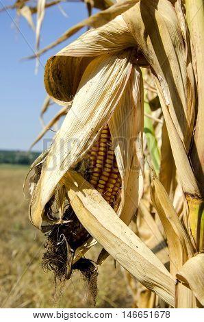 Corncob on a corn plant in autumn