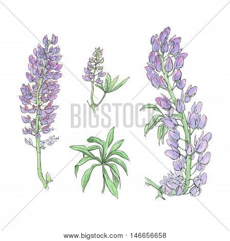 hand drawn set of watercolor flowers Lupinus lupin lupine on white background