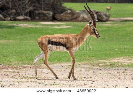 thomson's gazelle animal walking on the field