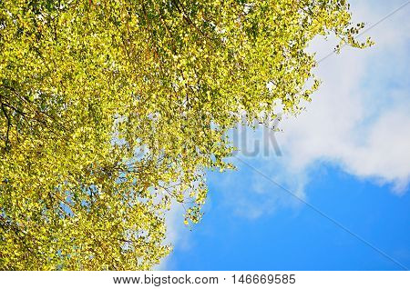 Autumn background - yellowed birch autumn leaves against blue sky. Autumn natural view with free space for text. Autumn birch branches on the background of the blue autumn sky in sunny autumn weather.
