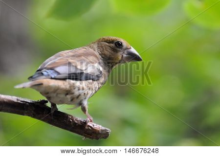 Perching juvenile Hawfinch (Coccothraustes coccothraustes) at tree in summer. Moscow region Russia