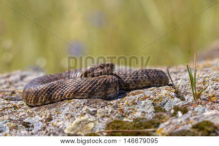 Ottoman Viper On A Rock