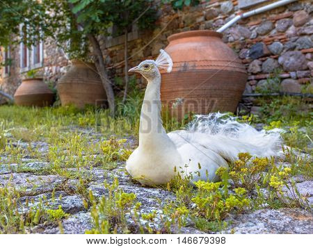Resting White Peacock