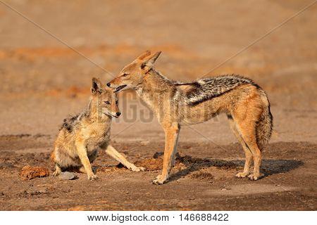 A pair of black-backed jackals (Canis mesomelas), Etosha National Park, Namibia