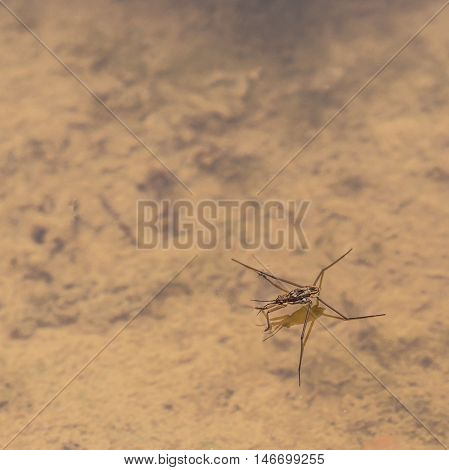 Macro of a water strider on a pond.