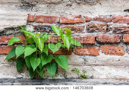 Tree growth on brick wallconcept for signs of floundersigns of life.