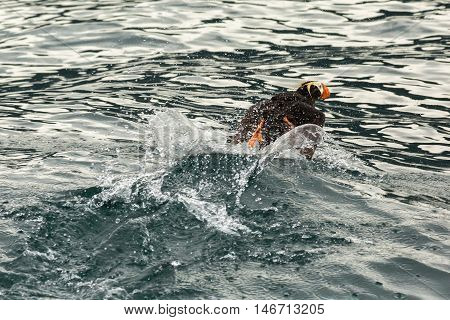 Tufted puffin scatter on the water for take-off.