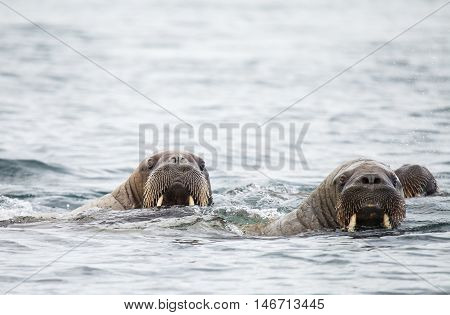 sealions group in wildlife. animal in nature.