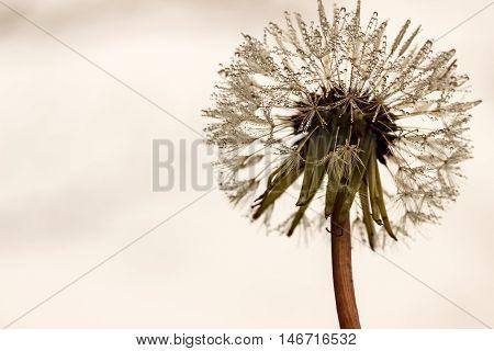 Dandelion Reaching For The Sky