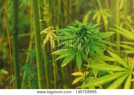 Cultivated hemp in field industrial marijuana growth