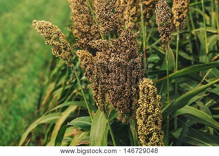 Cultivated sorghum field an important crop worldwide used for food animal fodder and biofuels.