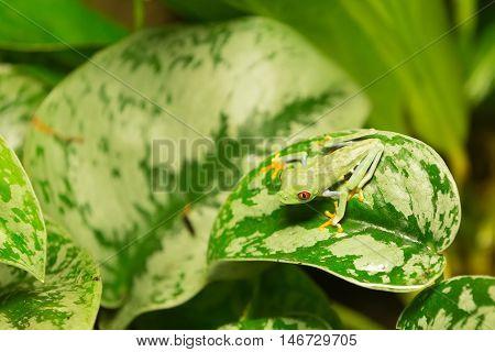 Red Eyed Frog Agalychnis Callidryas