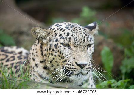 Persian Leopard (panthera Pardus Saxicolor)