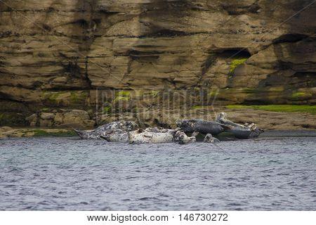 UK SCOTLAND Shetland Islands -- Gray seals ( Halichoerus grypus ) on rocks on the Isle of Bressay in the Shetland Islands of Scotland UK
