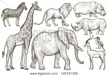 African animals set. Elephant giraffe zebra lion hippo rhino antelope. Illustration Vector Art. Style Vintage engraving. Hand drawing isolated on white background.