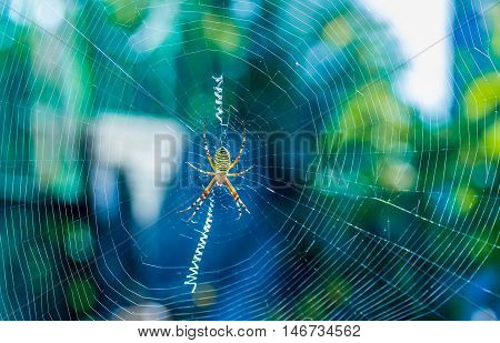 The big beautiful spider braids the web