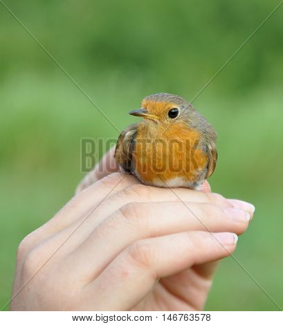 The European robin (Erithacus rubecula), known simply as the robin