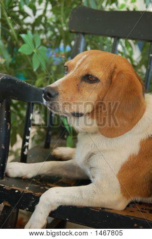 Beagle On A Bench