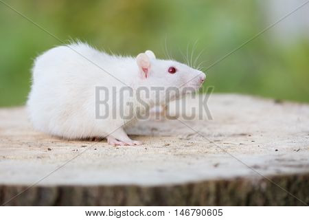 white pet rat with red eyes posing outdoors