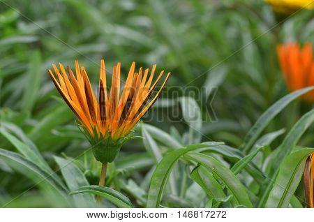 Beautiful Orange Gazania Flower