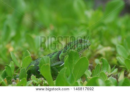 Green iguana walking across the top of a green shrub.