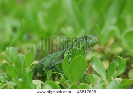 Fantastic green lizard sititng in thte tops of green bushes.